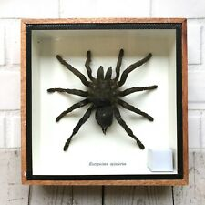 More details for huge tarantula spider (eurypeima spinicrus) insect display case box taxidermy