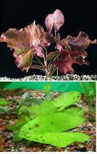4 RED & GREEN TIGER LOTUS Nymphaea bulb live aquarium plant tropical fish betta