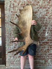 New ListingHuge Dark Alaskan Single Shed Antler Horns Taxidermy Mount Cabin Decor Deer Elk