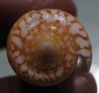 conus crocatus 57mm giant super nice color rare shells  caught in May 160 2020