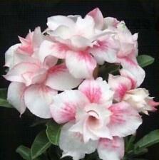 """5 pcs Desert Rose Flower Adenium obesum """"light pink"""" Seeds #A078"""