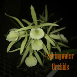 Springwater Orchids