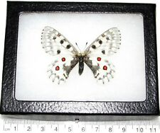 REAL FRAMED BUTTERFLY WHITE RED PARNASSIUS SMINTHEUS SAYII FEMALE