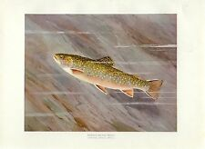 Early 1900s Antique Fish Print ~ Female Brook Trout