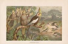 Nymphensittich  (Nymphicus hollandicus) Papageien Papagei  Lithographie von 1892