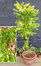 Gurken- Baum Obst Gemüse ganzjährig immergrüne exotische Zimmer Pflanzen / Samen