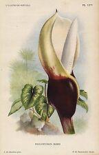 1896 Philodendron Mamei Antique Botanical Print LINDEN