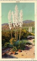 Yuccas Arizona Desert Plants Vintage Postcard BB1