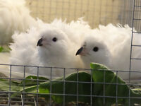 6 Pure Bobwhite Quail Hatching Eggs From Seperate Pens
