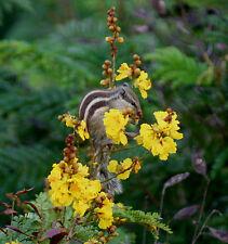 Peltophorum pterocarpum, SELTENE gelbe PRACHTBLÜTE, exotisch, 5 Samen, 5 seeds