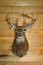 Shoulder Mount 11pt White Tail Deer Buck Real Antler Mule Taxidermy Horn MD27