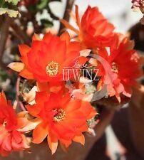 1 Cutting Orange Peanut Cactus Echinocereus Flower Rare Red Succulent Bloom
