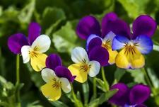 """Wildes Stiefmütterchen Viola tricolor 50 Samen /""""ALLES NUR 1 EURO/"""""""