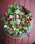 12 or 22 Assorted Succulent Cuttings/ 12 or 22 Varieties