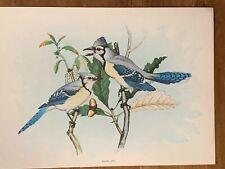 Blue Jay - Antique 1913 Color Print - 9.5� X 7� - The Mentor Association