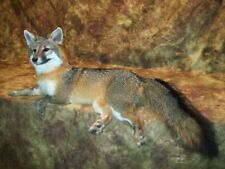 Gorgeous Grey Fox Mantle Mount Taxidermy Texas Hunt Deer Traps Antlers Log Cabin