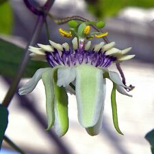Passiflora colinvauxii • 10 Samen/seeds • Passionsblume • Duft • Passion Flower