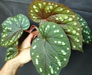 Begonia erectocarpa - rare species - stunning specimen and size