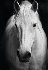 White Horse'S Black And White Art Portrait Poster Print, 13x19