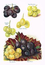 """Fruit Grower's Guide - """"MRS. PINCE'S MUSCAT, GROS MAROC"""" GRAPES  -  Litho -c1891"""