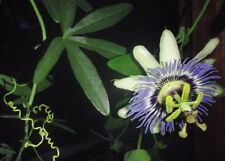 Passiflora Caerulea Blue Passion flower vine, 15 cuttings 6-8 inches long each