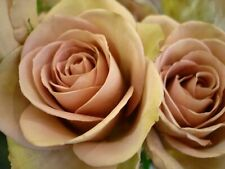25 semi di ROSA PINK MAROON ROSES + OMAGGIO
