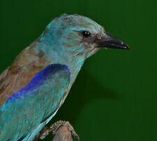 European Bird Coracias garrulus taxidermy Real Stuffed