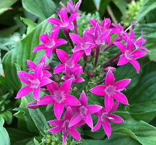 PURPLE PENTAS lanceolata perennial flowers garden plant in 120mm pot