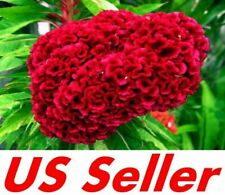 100 Seeds, Giant Red Heads Cockscomb Seeds G78, Celosia Cristata Garden Flowers