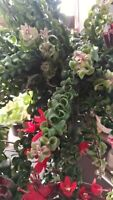 AESCHYNANTHUS TWISTER 3 x Cuttings Esquejes Hanging LIPSTICK PLANT Red Flowers