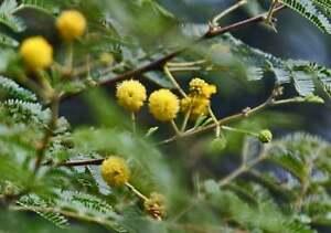 Acacia nilotica Babul, Black Babool, Indian Gum, Arabic Tree seeds