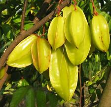 Averrhoa Carambola - 6 Seeds - Fresh Tropical Star Fruit Seeds