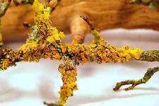 5 real branches with yellow lichen growing on them for terrarium, vivarium