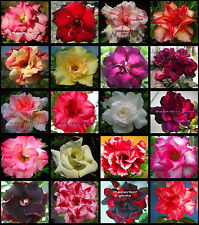"""ADENIUM """"Mixed 20 Types"""" 20 GRAFTED PLANTS RARE!!"""