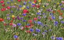 Blumenwiese Mix Saat 4 versch. Sorten 4 x 250 = 1000 Samen für duftende Blumen