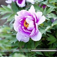 Heirloom Light Pink Purple Tree Peony Flower Seeds Light Fragrant 5 Pcs