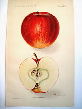 Gorgeous 1907 Book Plate Print of a Delicious Apple by D.G. Passmore *