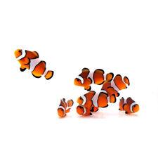 """Sustainable Aquatics Orange Ocellaris """"Nemo"""" 24 Pack"""