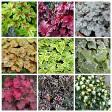 50Pcs Ivy Flower Seeds Hedera 10 Kinds Home Garden Curly Lovely Perennial Plants