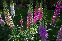1.500++ Samen Digitalis purpurea Mix - Fingerhut bunte Mischung
