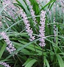 100 x EVERGREEN GIANT Liriope muscari border grass plants in 50mm pots