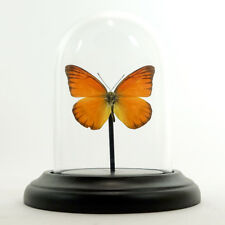 Glass dome with mounted butterfly -  Appias nero in small dome (Taxidermy)