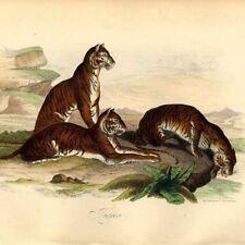 Félins Tigres Inde Bengale - Décoration Histoire naturelle gravure XIXe