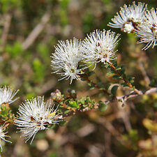 Kunzea pomifera Muntries advanced native plant Bushtucker in 75mm pot