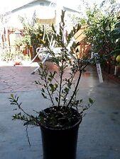 Ochna Serrulata Mickey Mouse - 2 Feet Tall - Already has Some Flowers/Fruits