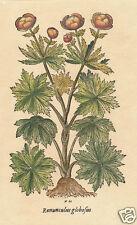 Ediz Fiorella Falteri Florence Italy hand color print Gerard Herball ranunculus