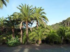Canary Island Date Palm Seeds (Phoenix canariensis), 10 seeds
