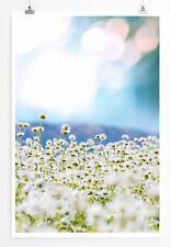 90x60cm Poster Naturfotografie Helles Kamillenfeld