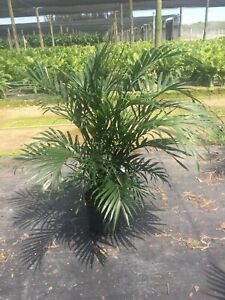 """chamaedorea Cataractarum/ Cat Palm In A 10"""" Growers Pot It's 3ft. Tall."""