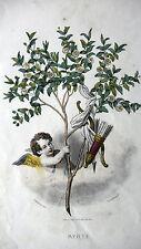 GRAVURE ANCIENNE 19e - LA MYRTE ILLUSTRATION DE GRANDVILLE